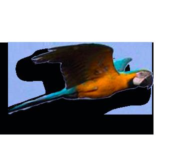Arara1